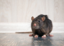 Rats in Your Room? 5 Signs of Rats to Be on the Lookout For